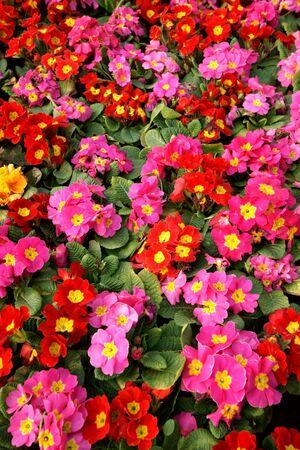 Colorful primula acaulis flowerbed  photo
