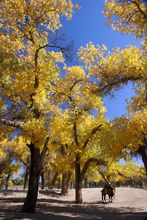 Forest with golden leaves in autumn               photo