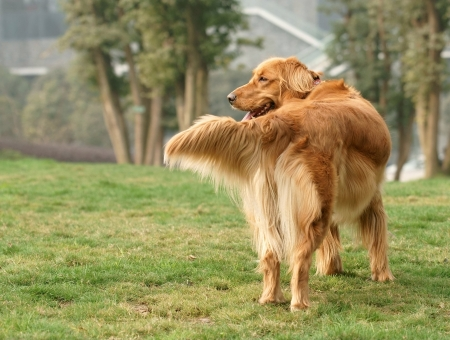 Golden retriever dog stand on the grass lawn