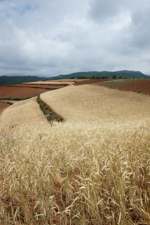 wild oat farmland in summer photo