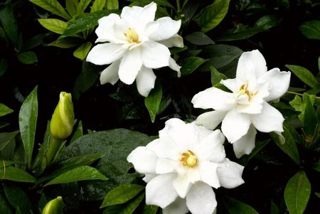 Cape jasmine flower