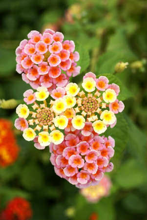 Lantana camara flower photo
