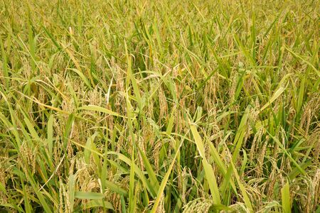 matured: Matured rice field Stock Photo