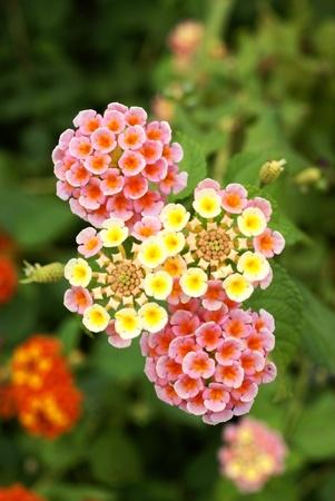 Lantana camara flower 写真素材