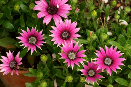 flowerbed: African daisy flowerbed Stock Photo