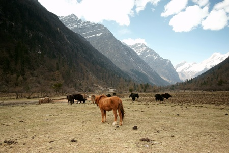 Horse and yak with snow mountain photo