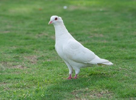 White pigeon standing on grass lawn