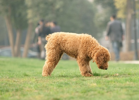 Toy poodle was looking for something photo