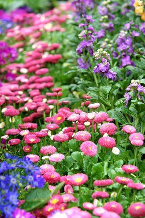 massif de fleurs: Daisy parterre de fleurs