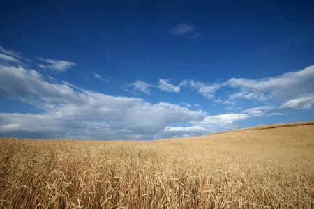 wild oat farmland with blue sky in summer photo