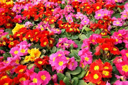 massif de fleurs: Colorful primula acaulis parterre de fleurs