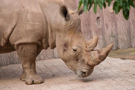 grazer: Rhinoceros head close up