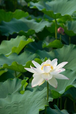 white lotus flower Stock Photo - 11909801