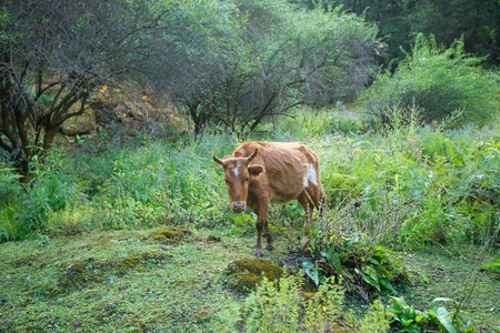 yellow cattle in forest photo