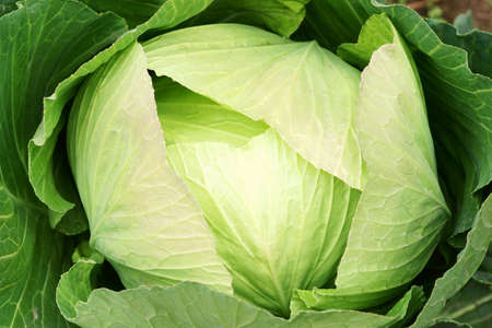 cabbage patch: Cabbage background Stock Photo