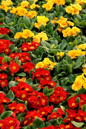Colorful primula acaulis flowerbed photo