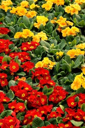 primula: Colorful primula acaulis flowerbed Stock Photo