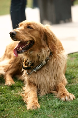 Golden retriever portrait photo