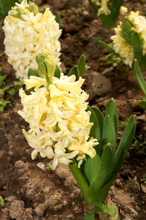 Yellow hyacinth flowerbed photo