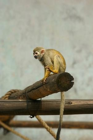 Squirrel monkey sit on wood shelf