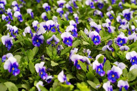 Fringed iris herb flower bed Stock Photo