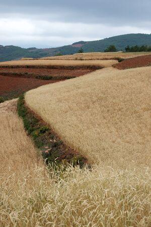 Highland barley farmland photo