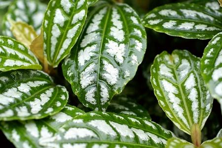 Pilea cadierei gagnep leaf