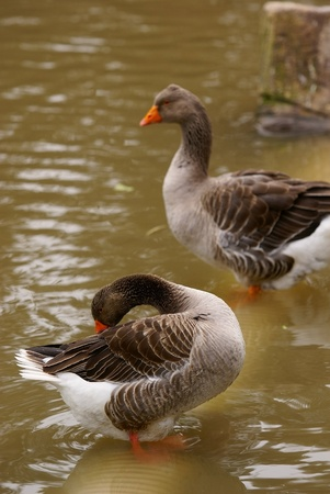 wild goose Stock Photo - 11713435