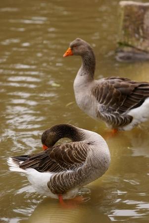 wild goose Stock Photo - 11713435