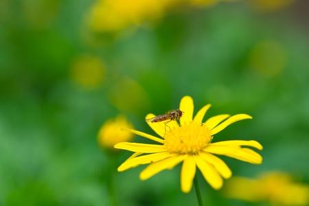 Bee on yellow daisy Stock Photo - 11713417
