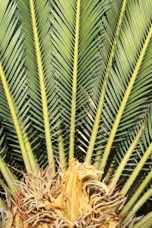 cycas: sago cycas closeup