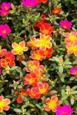 Bigflower purslane Stok Fotoğraf