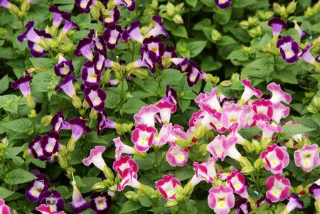 Torenia fournieri flower Stock Photo - 11558431