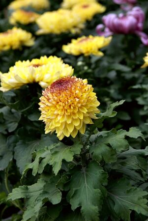 Chrysanthemum flower  photo