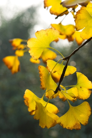 Yellow ginkgo leaf in autumn photo