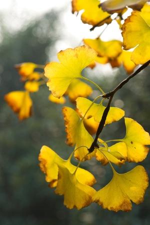 Yellow ginkgo leaf in autumn Stock Photo - 11909829