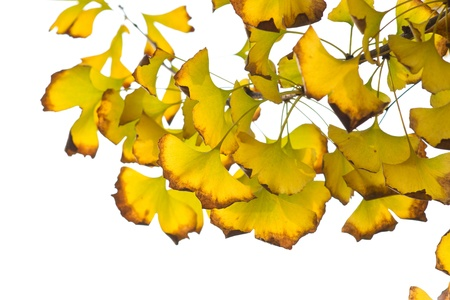 Yellow ginkgo leaf in autumn Stock Photo - 11837890