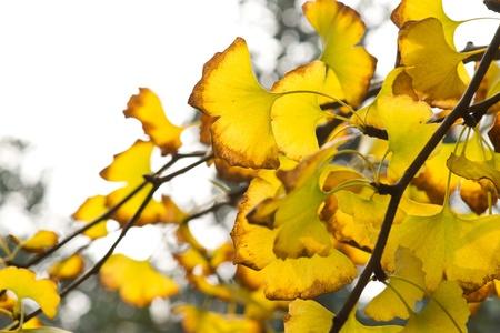 Yellow ginkgo leaf in autumn Stock Photo - 11699563