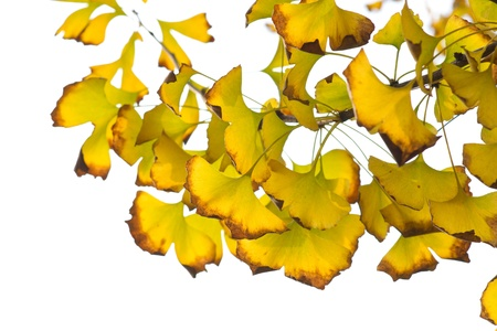 Yellow ginkgo leaf in autumn Stock Photo - 11941301