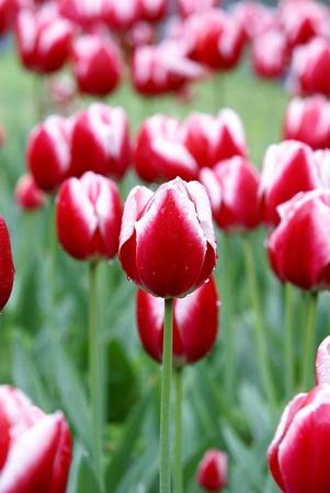 赤いチューリップの花のベッドの背景