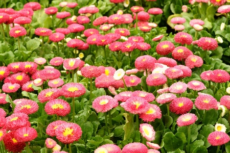 Daisy flowerbed background photo