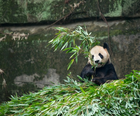 Giant panda eating bamboo photo