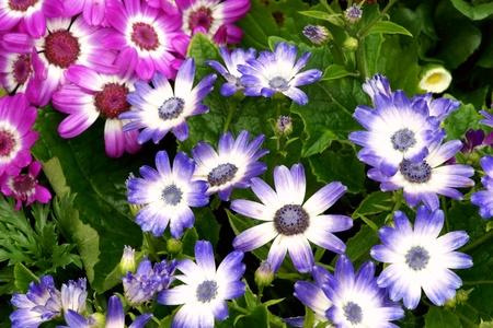 Daisy flowerbed background photo