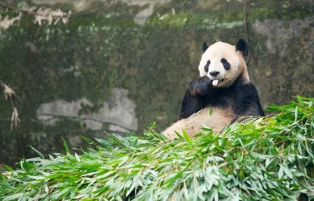 Giant panda eating bamboo photo
