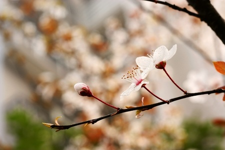 bee and plum blossom photo