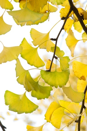 Yellow ginkgo leaf in autumn Stock Photo