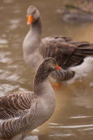 wild goose Stock Photo - 12214166