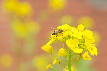 cole 花とミツバチ 写真素材