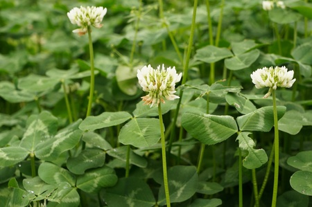 clover blooming Stock Photo - 13155895