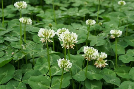 trifolium: clover blooming Stock Photo